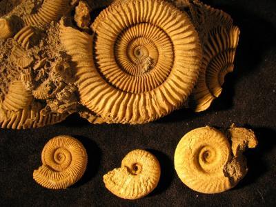 Dactylioceras, Pseudolioceras, Hildoceras