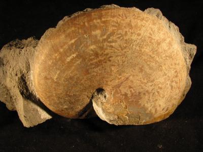 Phylloceras heterophyllum