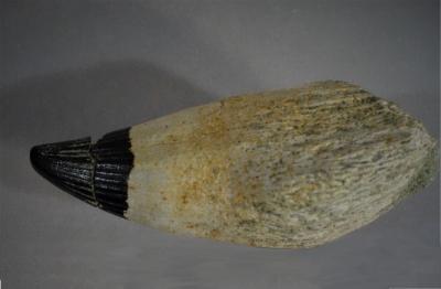 Platypterygius - Ob. Cenoman