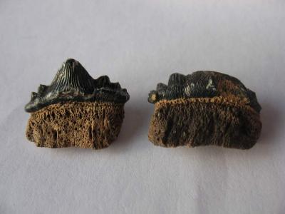 Hybodus-Zähne